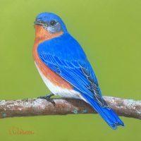 a-Eastern Bluebird 1-18