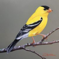 a-Male Goldfinch 1-18