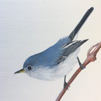 b-Blue-gray Gnatcatcher 1-18