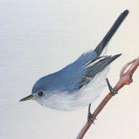 b-Blue-gray Gnatcatcher 1-18